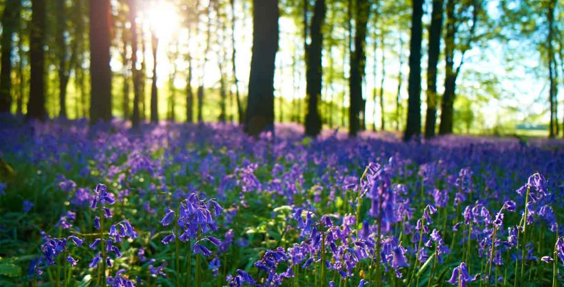 Brownsham Woods - Bluebell walks