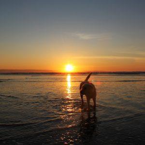 Dog, sea and sunset at Northam Burrows dog friendly beach