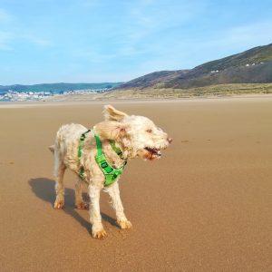 Dog in wind on Woolacombe beach