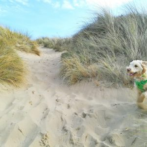 Dog playing in sand dunes at Woolacombe dog friendly beach