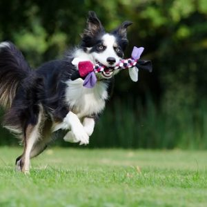 border-collie playing fetch in a field