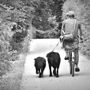Cyclist with two dogs