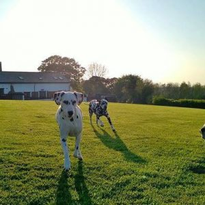 Multiple dalmatians playing in the exercise field
