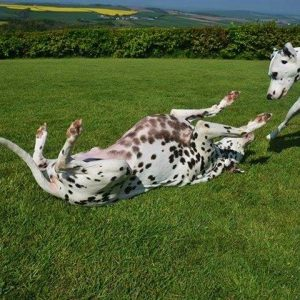 Dalmatians playing in the secure exercise paddock