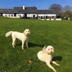 Labradoodles in the exercise field