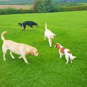 Multiple dogs in exercise field