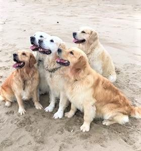 Five golden retrievers on the beach