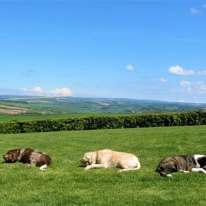 A dogs paradise - three dogs having a treat while relaxing in the field