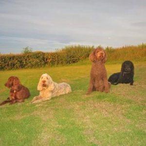 Multiple dogs enjoying the evening sun in paddock