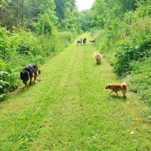 Multiple dogs enjoying the grassy woodland rides