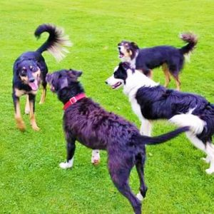 Dogs playing and socialising