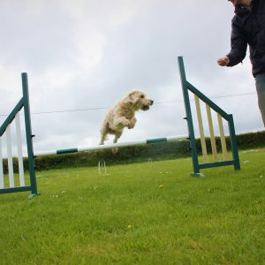 Dog jumping over agility jump