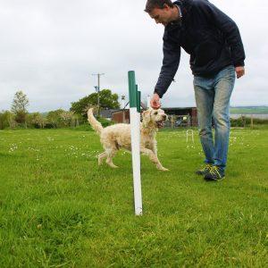 Dog doing agility weaves