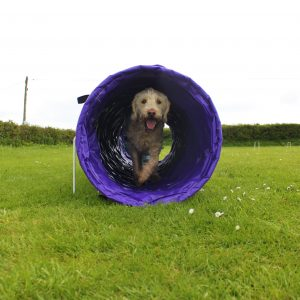 Dog in agility tunnel