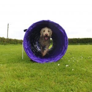 Dog in agility tunnel