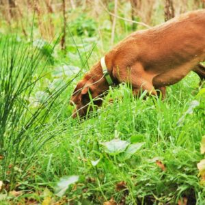 Dog sniffing in the woodland