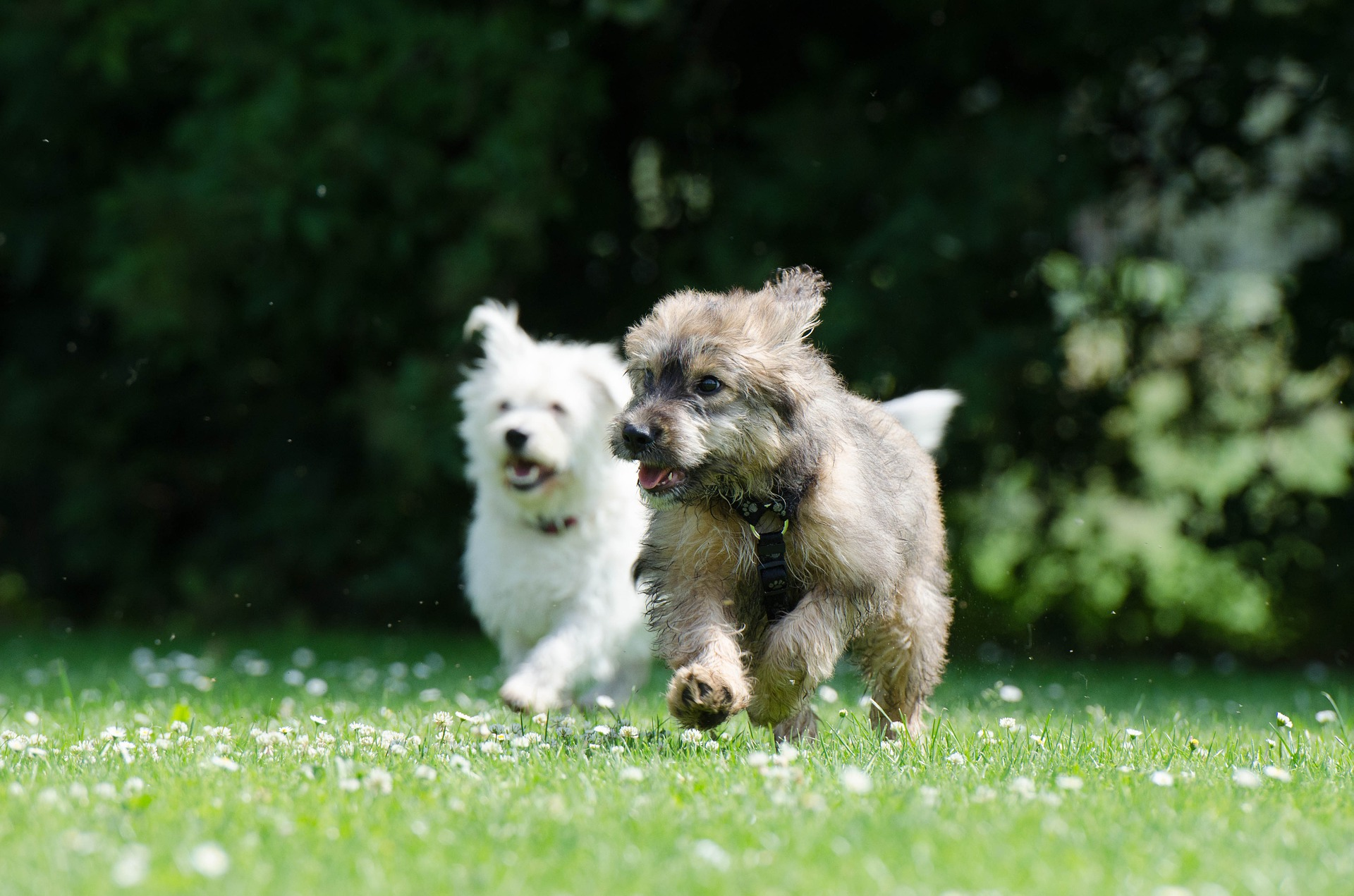 Small dogs running free in field